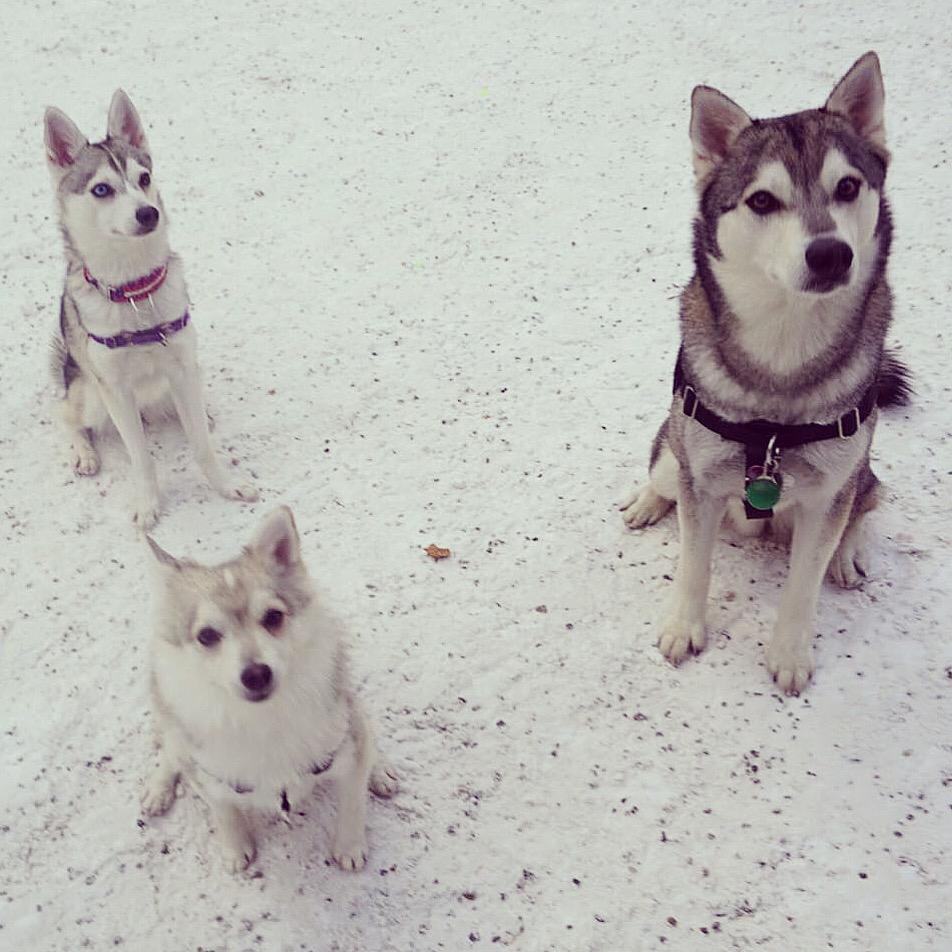 3 mini huksies in the snow