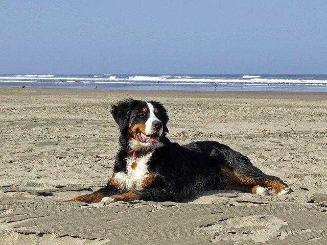 bernese mountain dog at the beach