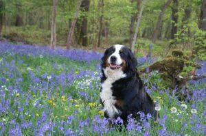 bernese mountain dog in the flowers field