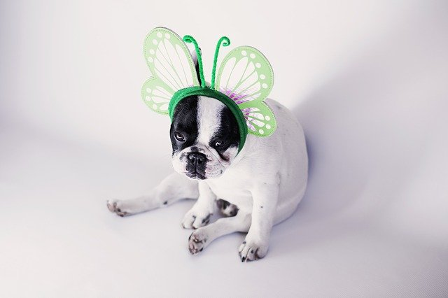 french bulldog in a butterfly costume