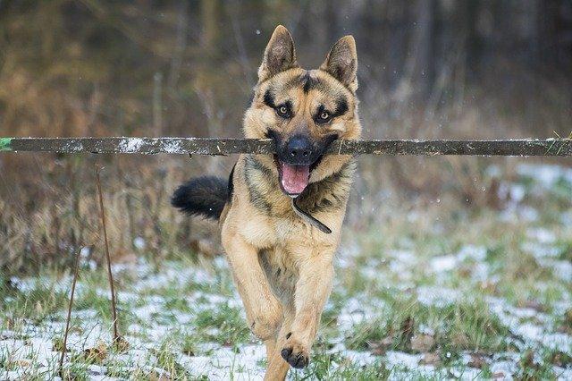 german shepherd running with a stick