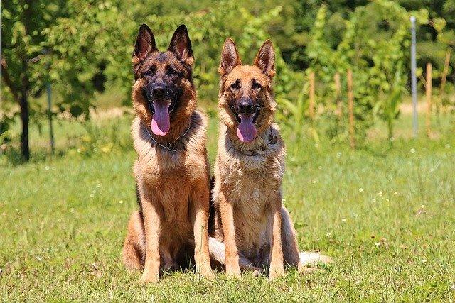 shepherd dogs relaxing