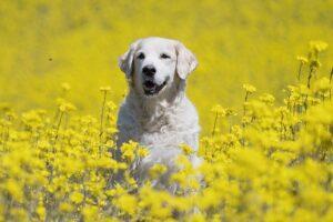 golden retriever in the flower field