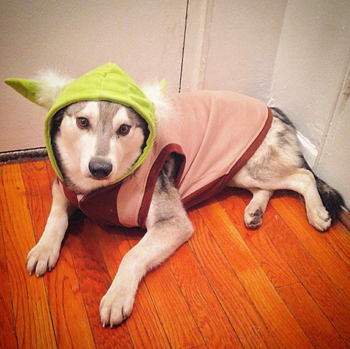 mini husky with master yoda costume