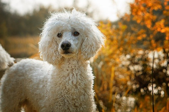 poodle dog in a colorful picture