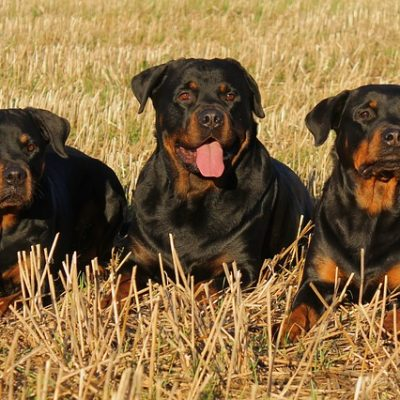 3 adult rottweiler dogs