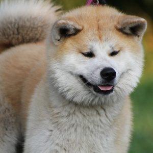 akita inu - fluffy
