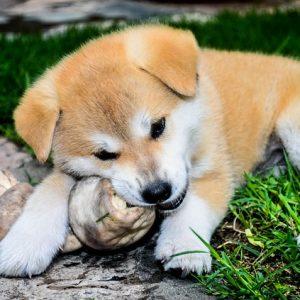 puppy chewing a bone