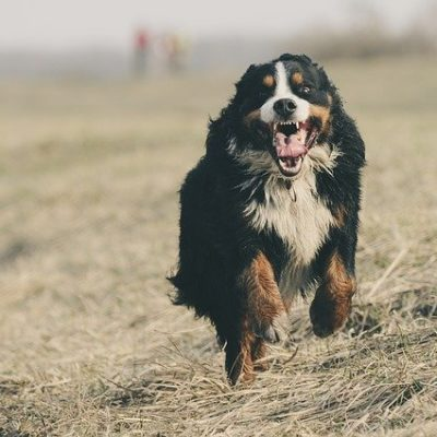 bernese mountain dog our and about