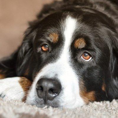 bernese mountain dog taking a break