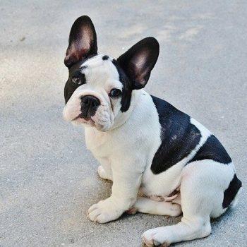 black and white cute french bulldog
