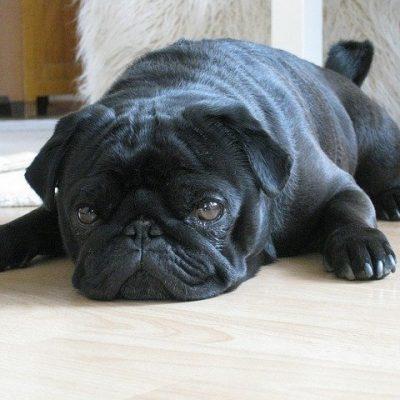 black pug laying down