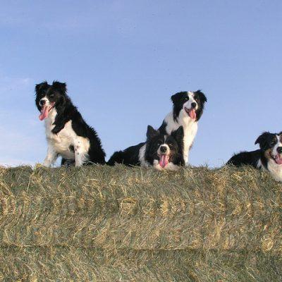 4 sheep dogs on the barn