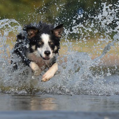 border collie playing in the water