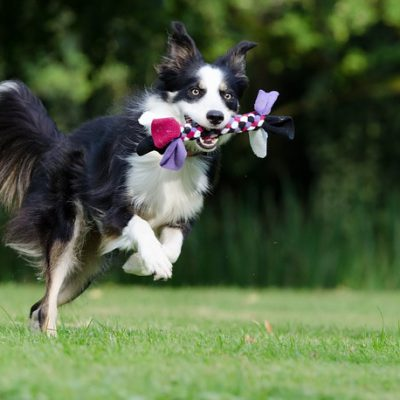 border collie with a toy in its mouth
