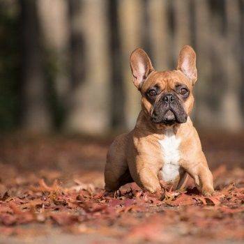 brown french bulldog with leaves
