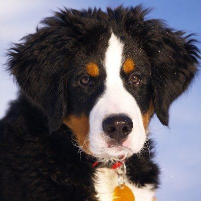cute bernese mountain dog pup