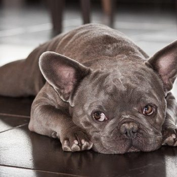 cute frenchie laying down
