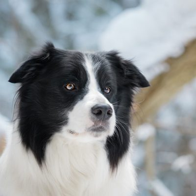 border collie staring