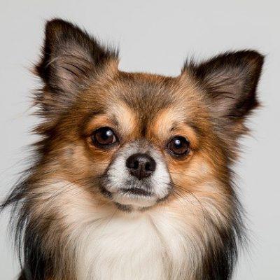 fluffy chihuahua dog
