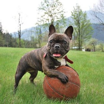 french bulldog playing with a ball