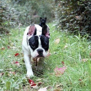 french bulldog pups in the yard