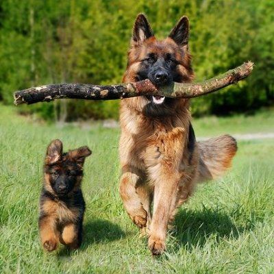 german shepherd adult and a puppy