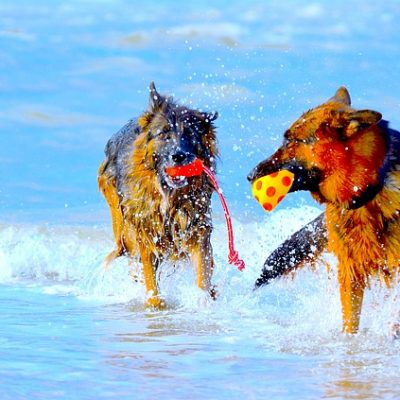 german shepherds in the water