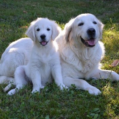 golden retriever adult and puppy