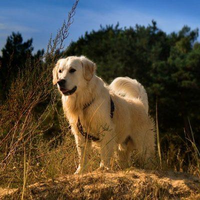 golden retriever on a rock