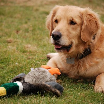 golden retriever with his toy