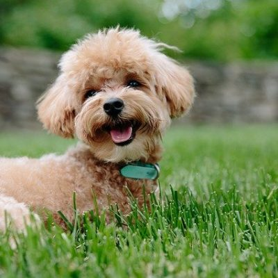 poodle chilling on the grass