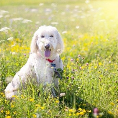 poodle - white color dog laying on the grass