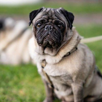 pug staring at the camera