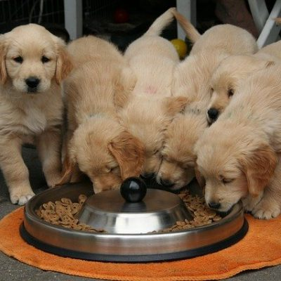 puppies eating from a jar