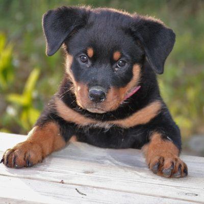 rottweiler little pup