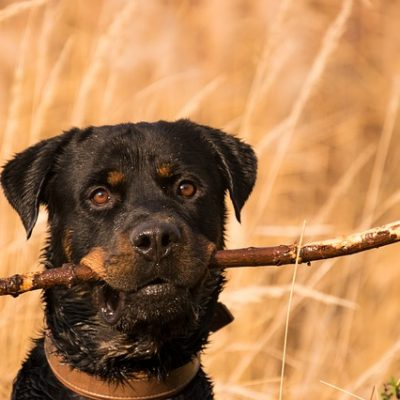 rottweiler with a stick in his mouth